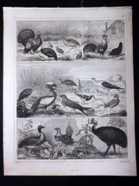 Heck 1849 Antique Bird Print. Australia Cassowary, Turkey, Cockerel Poultry